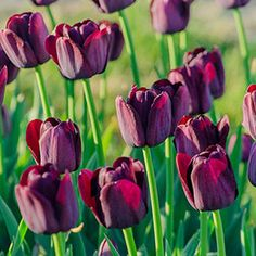Add drama to the landscape with the unique Queen of Night Tulip. Her majestic deep maroon blooms are the closest to black we've seen in a tulip.