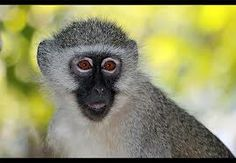 Monkey Problems: Solution  - http://www.environment.co.za/wildlife-endangered-species/monkey-problems-soulution.html