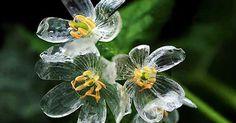 """Skeleton Flowers"" Become Transparent When It Rains 「山荷葉 さんかよう」雨が降ると花びらが水を吸い透明になります。 花言葉:親愛の情"
