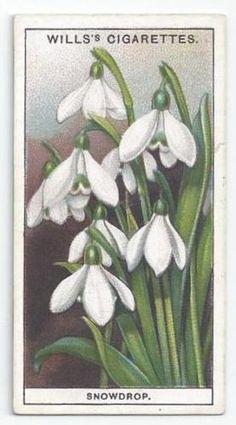 Galanthus Snowdrops Snowflakes, 40 Snowdrop, Snowdrops Galanthomania, Cigarette Cards, Galanthus Art, Snowdrop Acio, Ebay Galanthus