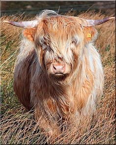 "Highlander A Scottish ""hairy coo."""