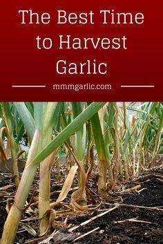 Herb Gardening, To Tell, Harvest, Garlic, Gardens, Herbs, Yard, Health, Ideas