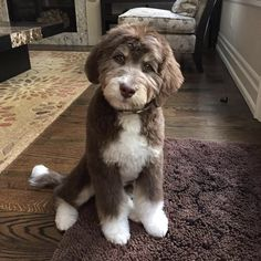 Dog Breeds The 7 Puppy Stages- Aussiedoodle and Labradoodle Puppies Chien Goldendoodle, Labradoodle Breeders, Australian Labradoodle Puppies, Bernedoodle Puppy, Labradoodles, Cockapoo, Goldendoodles, Chocolate Goldendoodle, Austrailian Labradoodle