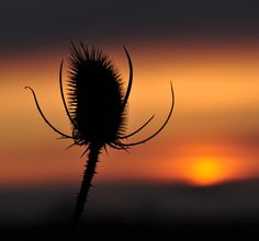 A thistle in the sunset