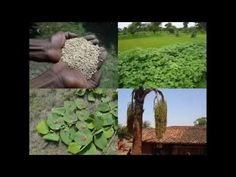 Medicinal Rice B4 Formulations for Emaciation: Pankaj Oudhia's Medicinal...