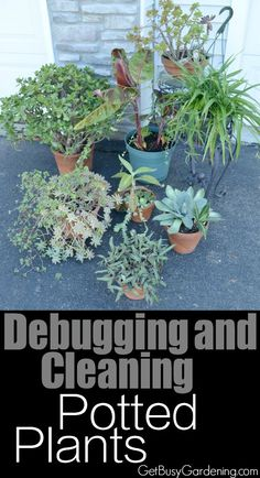 Debugging and cleaning potted plants before bringing them back inside is a crucial step in order to avoid indoor houseplant bug problems. Here are step by step instructions for debugging and cleaning your potted plants! | GetBusyGardening.com