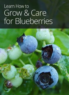 How to Grow and Care for Blueberries