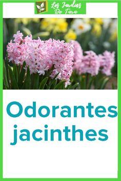 Odorantes jacinthes