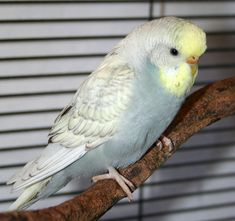 Yellowface gray spangle budgie parakeet, Cookie