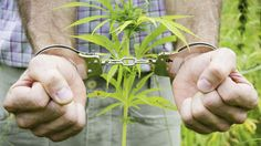 """""""Proibir e prender plantadores de Cannabis Sativa L. interessa à indústria farmacêutica, aos milionários traficantes, que distribuem a maconha monopolizada pela ilegalidade em caminhões de carga, navios, aviões e helicópteros e, finalmente, à indústria de armamentos."""""""