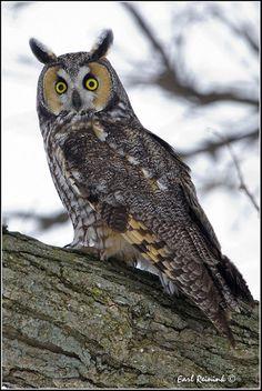 Long Eared Owl  par Earl Reinink -