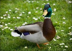 Google Image Result for http://animal.discovery.com/birds/duck/pictures/duck-picture.jpg