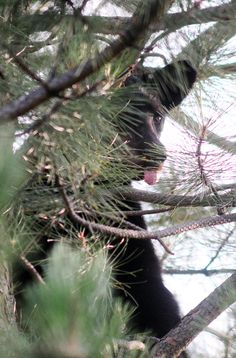 Broomfield's bear finally caught, moved out of city