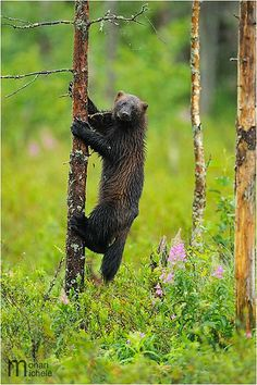 Wolverine by Monari Michele, via Flickr