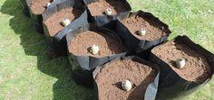 Технология выращивания картофеля в мешках, twochancesvegplot.files.wordpress.com Vegetable Garden, Landscape Design, Vegetables, Outdoor Decor, Crafts, Vegetables Garden, Lawn And Garden, Manualidades, Landscape Designs