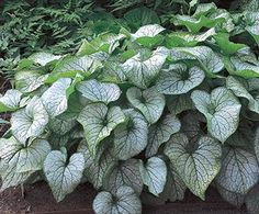 Siberian Bugloss - excellent in shade gardens paired with hosta, bleeding hearts, Outdoor Plants, Outdoor Gardens, Shade Garden Plants, Flower Garden Design, Tropical, Moon Garden, Annual Flowers, White Gardens, Parcs