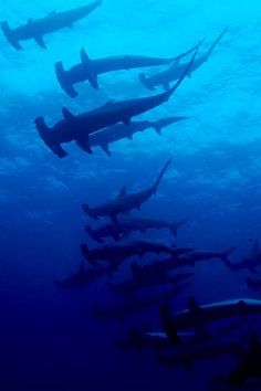 A good grouping of hammerhead sharks. There are so many different species of sharks. Sharks do not intend to hurt people unless they are being bothered or feel threatened Les Seychelles, Save The Sharks, Hammerhead Shark, Underwater Life, Deep Blue Sea, Ocean Creatures, All Nature, Shark Week, Mundo Animal