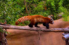 Red Panda by SaurabhGoel1 via http://ift.tt/2gduTSi