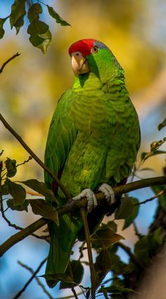Wild Amazon Parrots of Burbank: