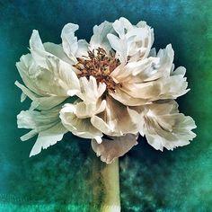 Full Bloom - version 2  #peonies #peony #fullbloom #peonylove #petals #photobyme #myfavoriteflower #peoniesaremyfavorite #flowerphotograph #myphoto #flowerphoto #flowerphotography #floral #springblooms #bloomingpeonies #gardengirl #naturalbeauty #beautiful #beautifulflower #beauty #flowerart #iloveflowers #flowergirl Natural Beauty from BEAUT.E