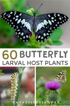 These plants are essential for butterflies to survive, providing a place to lay their eggs. See the entire list of host larval plants. Butterfly Garden Plants, Planting Flowers, Butterfly House, Monarch Butterfly, Garden Bugs, Garden Whimsy, Flowers That Attract Butterflies, Milkweed Plant, Easy Garden