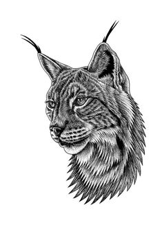 Lynx Drawing - Eurasian Lynx Portrait by Loren Dowding Lynx Kitten, Siamese Kittens, Lynx Lynx, Iberian Lynx, Eurasian Lynx, Portrait Art, Pet Portraits, Cartoon Drawings, Bears