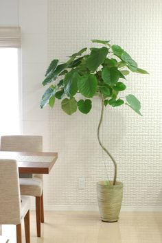 ウンベラータ Big Indoor Plants, Indoor Trees, Large Plants, Green Plants, Green Flowers, Indoor Garden, Interior Plants, Foliage Plants, Landscaping Plants