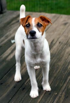 Jack Russel Terrier4 2009 by photoboater on DeviantArt