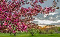 Gyümölcsfavirág háttérkép, fotó