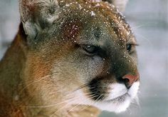 Image result for Cougars in Georgia
