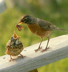 A Mamá Robin With lunch for her chick
