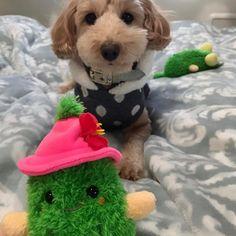 こんにちわ🐶💓 . . くうたんのお土産はゴーヤのおもちゃ。早く頂戴って顔です。 ぴこぴこって音がなるから好きなタイプ👌 2代目です!きっと1日で抜け殻状態になるんだろうな〜思う存分壊してください🤣🤣 奥の子はもう放置プレイ笑 . . #ダップー#ダックス#プードル#ミックス犬#犬#わんこ#わんちゃん#わんこなしでは生きていけません会 #甘えん坊#かわいい#癒し#お散歩#手作りごはん#愛犬#癌#犬ごはん#いぬバカ部 #いぬすたぐらむ#おもちゃ#お土産#沖縄#dachshunds#poodle#dog#mix#dogfood#dogstagram#doglovers#doglife#love