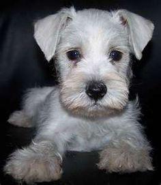 white mini schnauzer .. awww I want one!!!