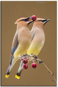 Cedar Waxwings by Conrad Tan on 500px