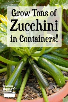 Yes, you can grow zucchini or summer squash in pots or containers! This family favorite is easy to grow and will give you a huge harvest. Here's everything you need to know to grow zucchini in containers. Gardening How to Grow Zucchini in Containers Growing Zucchini, Growing Veggies, Growing Plants, Zucchini Plants, Zucchini Vegetable, How To Grow Zucchini, Growing Squash, Easy To Grow Vegetables, Growing Avocado