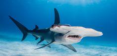 Raubfische als Taucherliebling: Hai Five