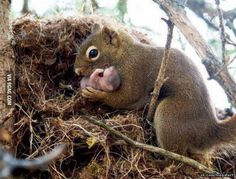 A female red squirrel adopting an orphan baby from an abandoned nest.