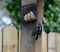 There is a lot of natural food in our backyards this time of year (acorns, berries, etc.) To save your suet cakes go ahead and break the cakes in half and put the other half in the freezer until needed. Suet Cakes, Johns Creek, Wild Birds, Backyards, Bird Feeders, Freezer, Berries, Store, Natural