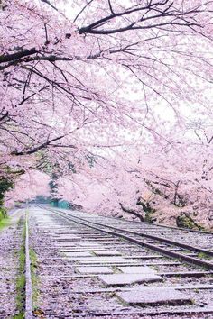 "Wander the wood: Photo banshy: ""Sakura Line - Kyoto, Japan by Comyu Matsuoka ""<br> Beautiful World, Beautiful Places, Beautiful Pictures, Landscape Photography, Nature Photography, Beautiful Nature Wallpaper, Blossom Trees, Cherry Blossoms, Cute Wallpapers"