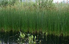 Mattenbies groeit in de meeste vijvers in #Zevenaar, ook in brede sloten is hij te vinden #SchoenoplectusLacustris. Dinsdag 3 juni 2014. Via twitter @Zevenaar_flora
