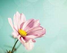 FLOWER PHOTOGRAPHY / COSMOS FLOWERS / BOTANICAL WALL ART  A light and summer photography print featuring beautiful pink cosmos flowers (my