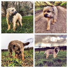 """#alfborder 'I've had my second #birthday' retrospective #borderterrier #btposse #ultimateborder #dog #hound #pooch #puppy #hintonstgeorge #somerset"" Photo taken by @combehouse on Instagram, pinned via the InstaPin iOS App! http://www.instapinapp.com (03/12/2016)"