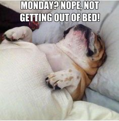 monday? nope, not getting out of bed #english #bulldog