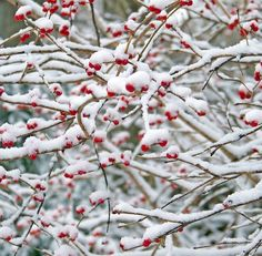 Free Christmas Pictures & Images In HD Pictures Images, Free Images, White Christmas, Christmas Fun, Branches, Merry Berry, Old Farmers Almanac, Red Berries, Winter Berries