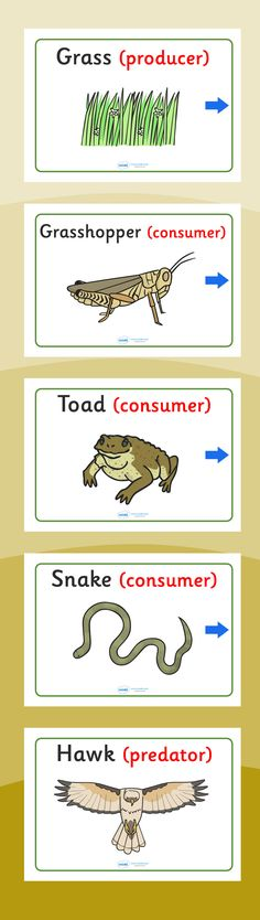 Food chains- Food chain display posters