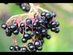 Plody černého bezu aneb před břízou smekni, před bezem klekni..