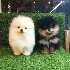 Delightful Comical And Sweet Pomeranian Ideas. Charming Comical And Sweet Pomeranian Ideas. Cute Dogs And Puppies, Baby Dogs, Cute Little Animals, Cute Funny Animals, Baby Animals Pictures, Animals And Pets, Fluffy Animals, Nature Animals, Cute Pomeranian