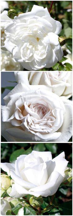 Elegant Rosen in Wei traumhaft sch n und ein Symbol f r Treue und Leidenschaft Gefunden auf SymbolsRosenGarden