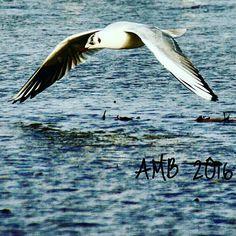 Vole d'une mouette au-dessus de la mer d'iroise... Animals, Brittany, Animales, Animaux, Animal, Animais