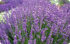 35 best lavender plants images on pinterest lavender plants twickel purple lavender has long purple flowers with green grey foliage a slightly more relaxed habit than the similar royal purple the name derives mightylinksfo